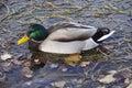 Mallard duck a looking for food in big bear lake california Royalty Free Stock Photo