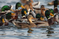 Mallard duck,male and female swimming on pond. Royalty Free Stock Photo