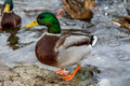 Mallard duck a male standing on a lake Royalty Free Stock Photos