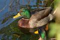 Mallard duck a male on water Royalty Free Stock Photo