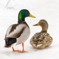 Mallard duck pair a brilliant green drake and its mate on the snow Stock Photo
