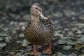 Mallard Duck, San Antonio Bota...