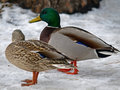 Mallard Duck on Snow Stock Photography