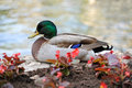 Mallard duck standing on flower bead wall at the river Royalty Free Stock Photography
