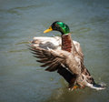 Mallard duck stretching its wings Royalty Free Stock Photography