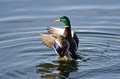 Mallard duck stretching its wings a male Stock Photography