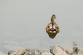 Mallard Duck Swimming Away from the Shore Royalty Free Stock Photography