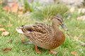 Mallard duck walking on the grass full length shot of a female – horizontal orientation Royalty Free Stock Photo