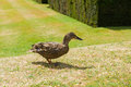 Mallard duck wild curious standing on the grass Stock Images