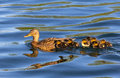 Mallard and ducklings duck swimming through water with following behind Stock Photography