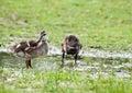 Mallard Ducklings Outside Royalty Free Stock Photos