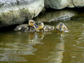 Mallard ducklings swim and play in the water of a city pond Stock Images