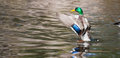 Mallard ducks anas platyrhynchos flapping wings in pond duck drake a Stock Photo