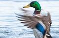 Mallard ducks anas platyrhynchos flapping wings in pond duck drake a Royalty Free Stock Image