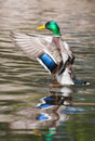 Mallard ducks anas platyrhynchos flapping wings in pond in sof duck drake a soft focus Stock Image