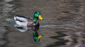 Mallard ducks anas platyrhynchos relaxing in pond duck male swimming a Royalty Free Stock Photo