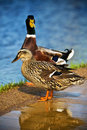 Mallard Ducks Female and Male Royalty Free Stock Photo