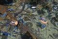 Mallard Ducks And Fish Stock Photos