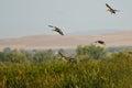 Mallard Ducks Landing in the Marsh Royalty Free Stock Photo