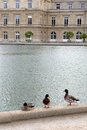 Mallard ducks by pond jardin du luxembourg a photograph showing three colourful duck birds resting the edge of the central or lake Royalty Free Stock Photos