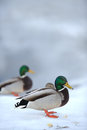 Mallard ducks on snow in winter a male duck the foreground Stock Photography