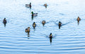 Mallard ducks swimming in a a pond Royalty Free Stock Image