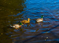 Mallard ducks three swimming in the river Royalty Free Stock Image