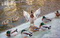 Mallard on ice spreads wings Stock Photography
