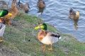 Mallard male duck near water Royalty Free Stock Image