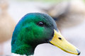 Mallard male duck near water Royalty Free Stock Images