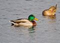 Mallard a male and a female Royalty Free Stock Images
