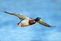 Mallard male in flight wings spred Stock Image