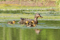 Mallard mother with ducklings Royalty Free Stock Photo