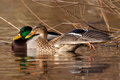 Mallard pair Stock Images