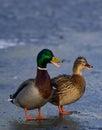 Mallard pair on ice Royalty Free Stock Photo