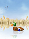 Mallard in the pond illustration of Stock Images