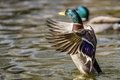 A mallard stretching it s wings an outstretched duck on the lake Stock Image