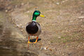 Mallard sunning Royalty Free Stock Photo
