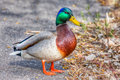Mallard walking in hdr closeup of a by high dynamic range Stock Photos