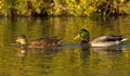 Mallard or wild duck couple anas platyrhynchos floating on the water by sunset Royalty Free Stock Image