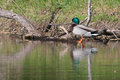 Mallard in the wild pearched on a log Stock Photos