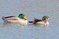 Mallard and wood duck male male together Royalty Free Stock Photography