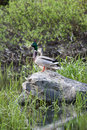 Mallards on boulder a pair of are perched a in a wetlands area Royalty Free Stock Photo