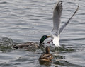 Mallards and gull male mallard anas platyrhynchos fighting a for food Stock Photography