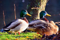 Mallards resting harmoniously by the lake Royalty Free Stock Image