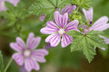 Mallow - Malva sylvestris Royalty Free Stock Photography