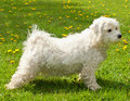 Maltese-bichon Royalty Free Stock Photos