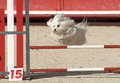 Maltese dog in agility beautiful purebred jumping a competition of Stock Images
