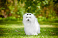 Maltese dog outdoors white in summer Royalty Free Stock Photo