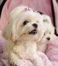 Maltese puppies Royalty Free Stock Photo